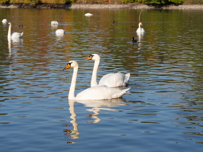 Group of swan birds in lake in golden evening light. Beautiful swans cygnus olor in lake in the autumn evening light stock photo