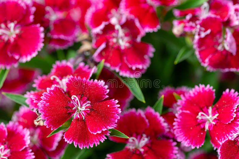 A group of Sweet William flowers up close. With shallow depth of field royalty free stock images