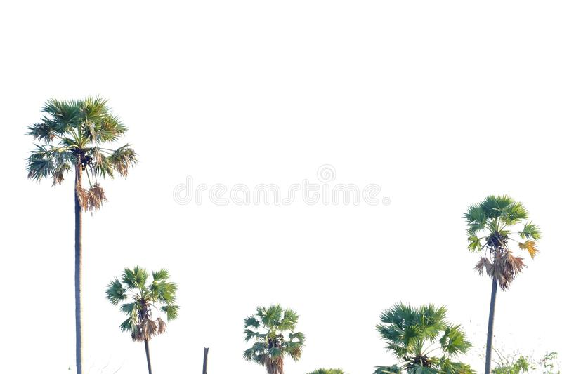 A group of tall sugar palms growing in a forest on white isolated background stock photography