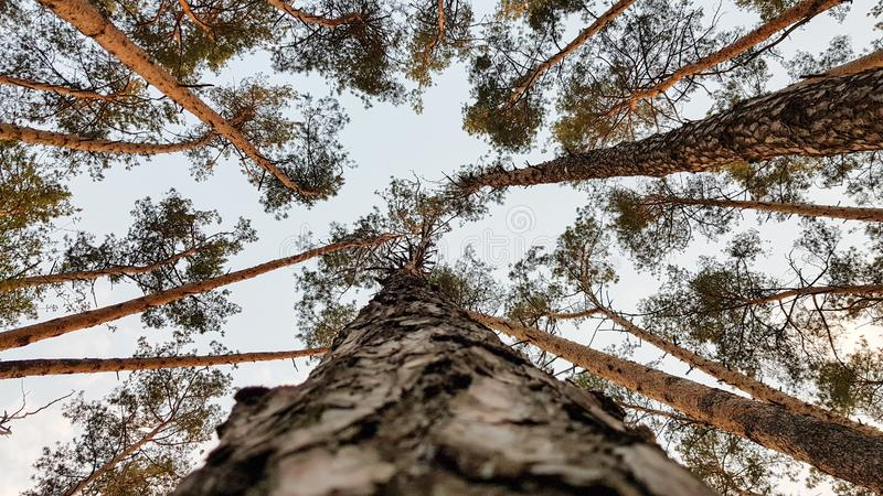 A group of tall trees. View from the ground. Parallels of pine trunks seem to converge in an upward direction.  stock images