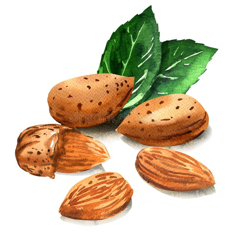 Group of tasty almond nut with green leaves, whole nuts in skins and peeled, isolated, hand drawn watercolor. Illustration on white background stock illustration