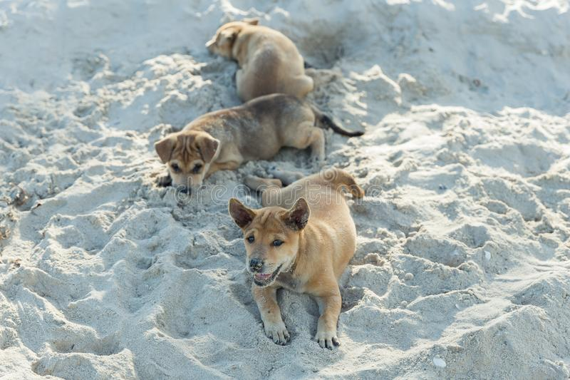 Group of Thai puppy playing on the beach digging sand. Cute small domestic dog. royalty free stock photography