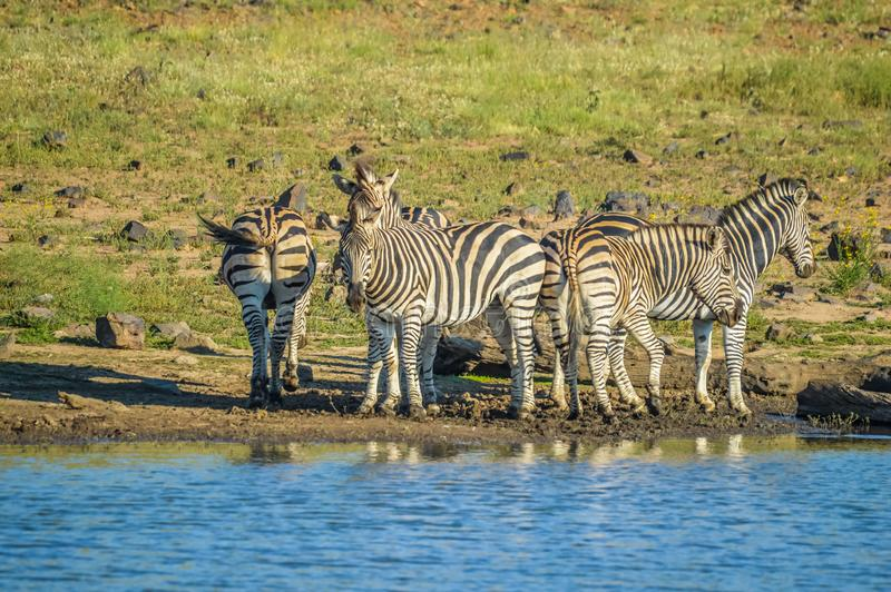 Group of thirsty Zebra drinking from a dam during safari in African bushveld stock photos