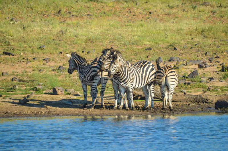 Group of thirsty Zebra drinking from a dam during safari in African bushveld. Group of thirsty Zebra drinking from a dam during game safari in African bushveld royalty free stock image