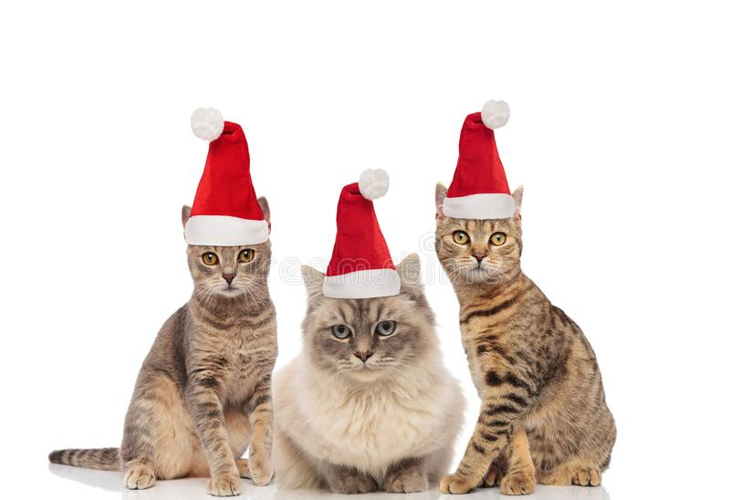 Group of three adorable metis cats dressed as santa claus stock image