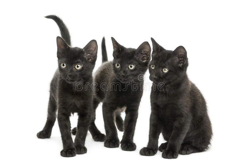 Group of three Black kittens looking in the same direction. 2 months old, isolated on white royalty free stock image