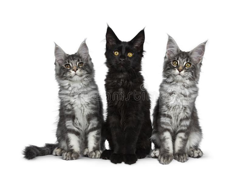 Group of three blue tabby / black solid Maine Coon cat kittens on white background. Group of three blue tabby / black solid Maine Coon cat kittens, sitting up in royalty free stock photos
