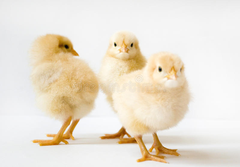 Group of three chicks stock photo