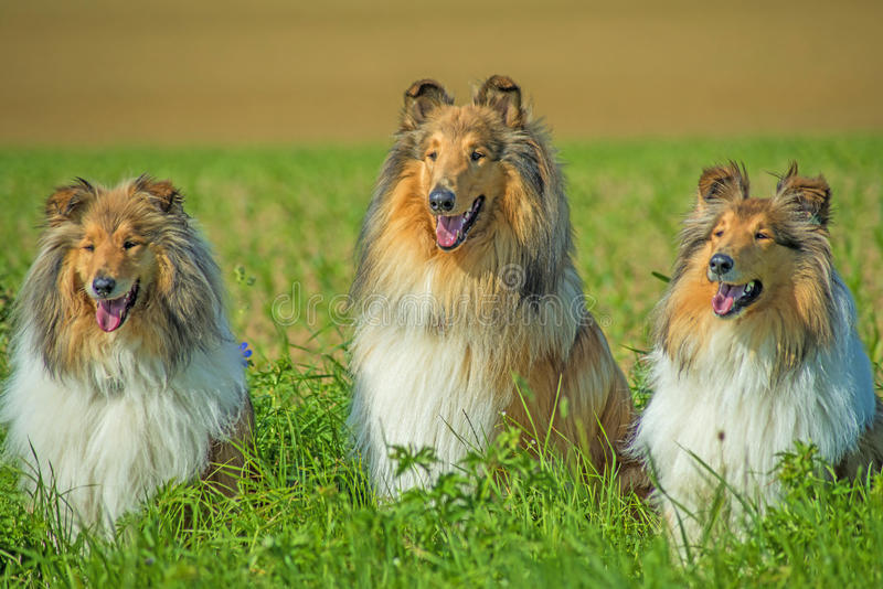 Group of three collie dogs royalty free stock photo