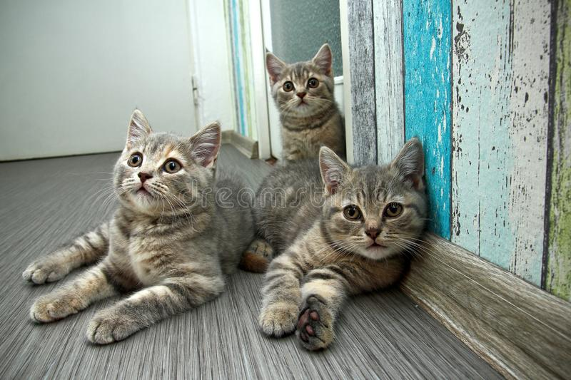 Group of three cute grey British kittens stock photos