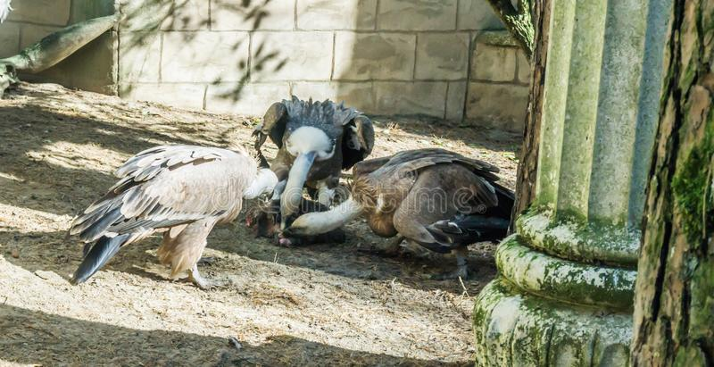 Group of three griffon vultures eating from a piece of elephant meat together stock photos