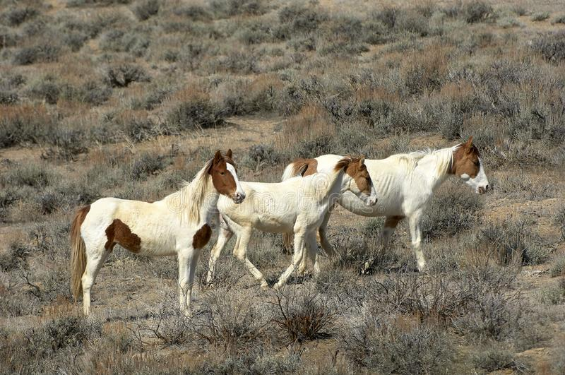 A group of three mustangs. Equus caballus in the high desert, Sand Wash Basin, Colorado, USA stock photo