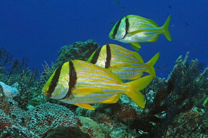 Group of Three Porkfish royalty free stock photography