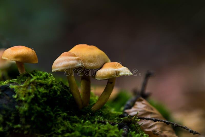 Orange mushrooms stock photography