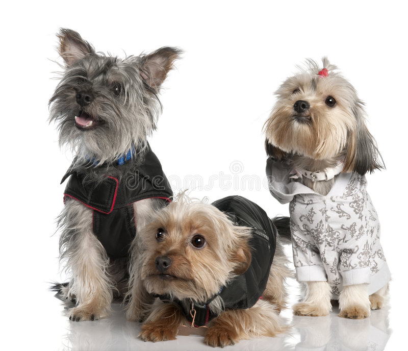 Group of three Yorkshire Terrier (2 years old and stock photography