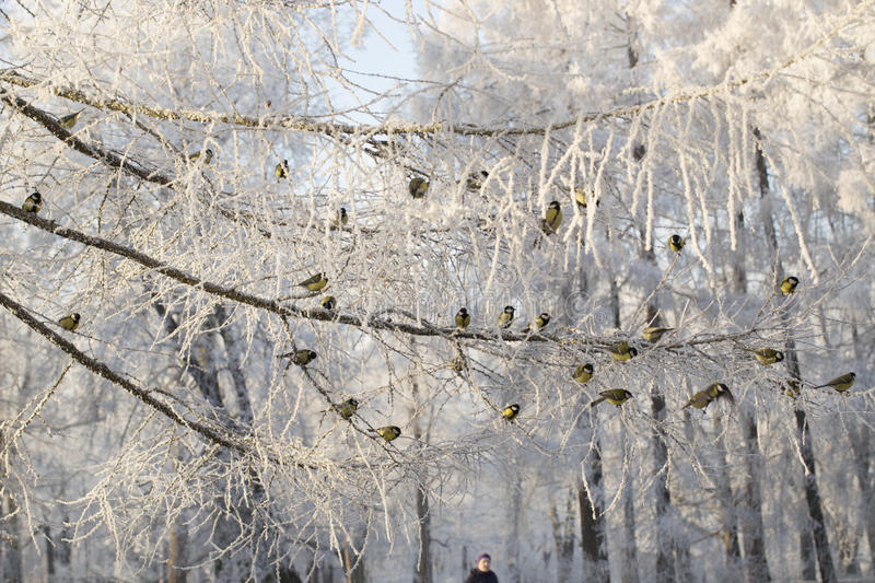 Group of titmouses among snow-covered branches royalty free stock images
