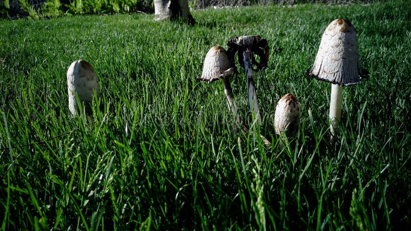 Group of Toadstools in Grass stock images