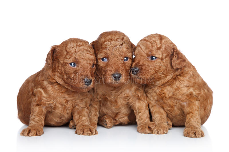 Group of a Toy poodle Puppy (20 days). Group of a Toy-poodle Puppy (20 days) on a white background. Closeup portrait series stock photography