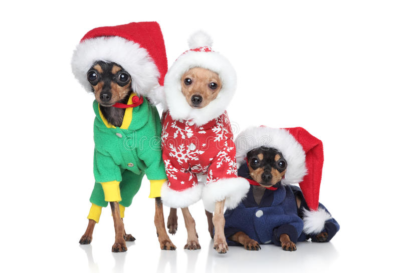 Group of toy-terrier puppies in Christmas hats. On a white background royalty free stock photography