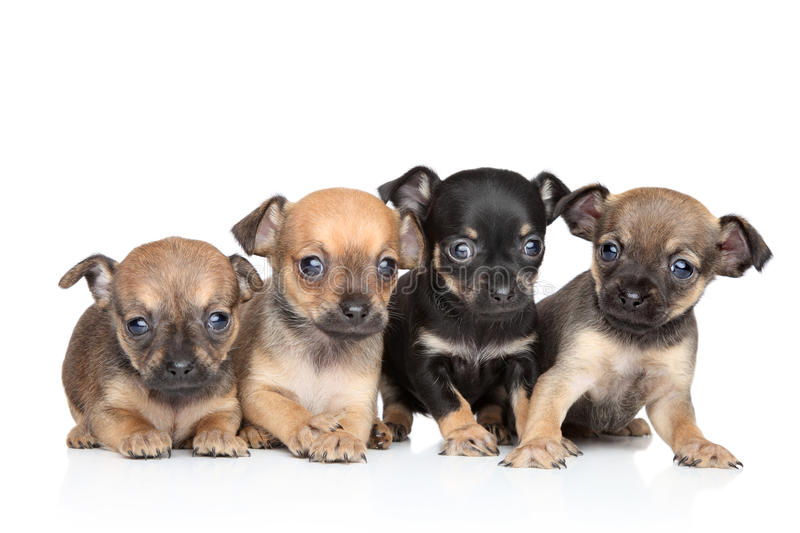 Group of Toy Terrier puppies royalty free stock photo