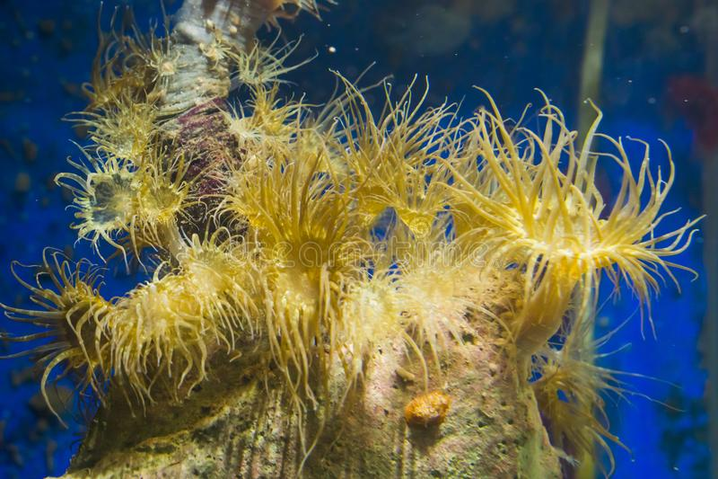 Group of tube dwelling sea anemones on a rock, popular aquarium pets in aquaculture stock photo