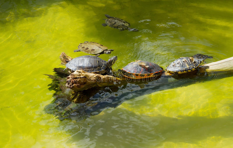 A group of turtles. Turtles basking and swimming in the sun royalty free stock photography