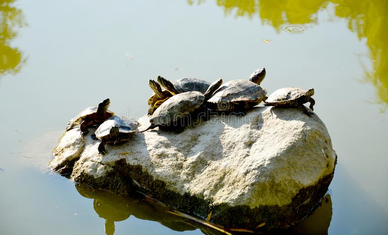 Group of turtles on a dry rock stock photography