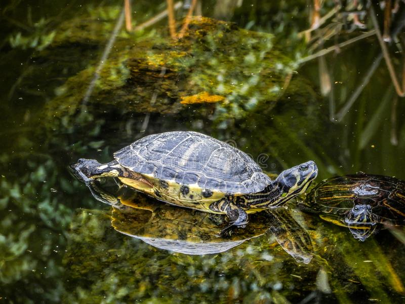 Group of turtles in a pond royalty free stock photography