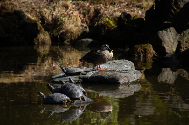 A group of turtles on a rock stock image