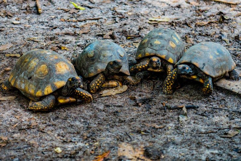 Turtles walking towards camera stock photography