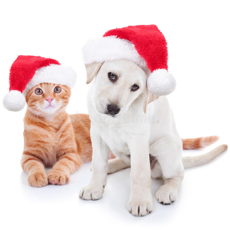 Christmas Pets Dog and Cat. Cute Christmas pet Labrador dog and cat on white royalty free stock images