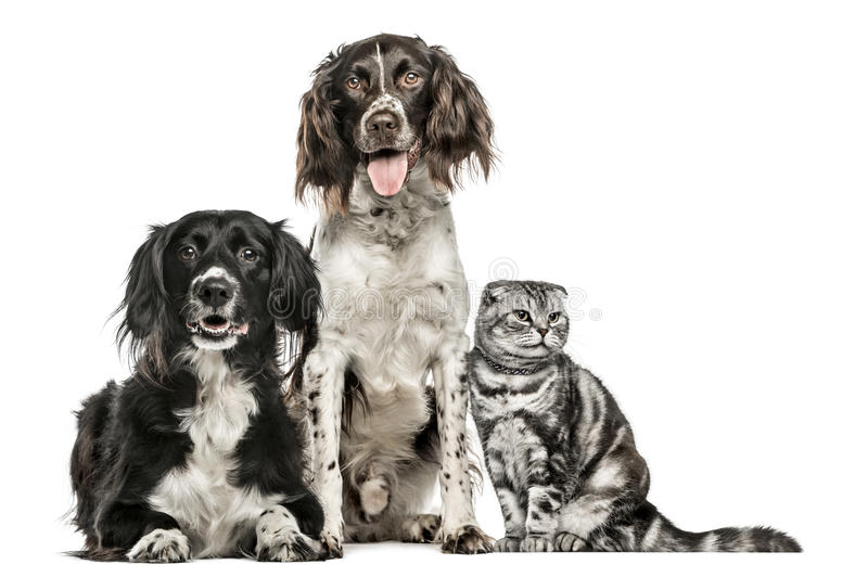 Group of two dogs and a Scottish Fold. Group of two dogs and a cat; Mixed-breed dog, 10 years old, Münsterlander, 4.5 years old, and a Scottish Fold, isolated royalty free stock photos