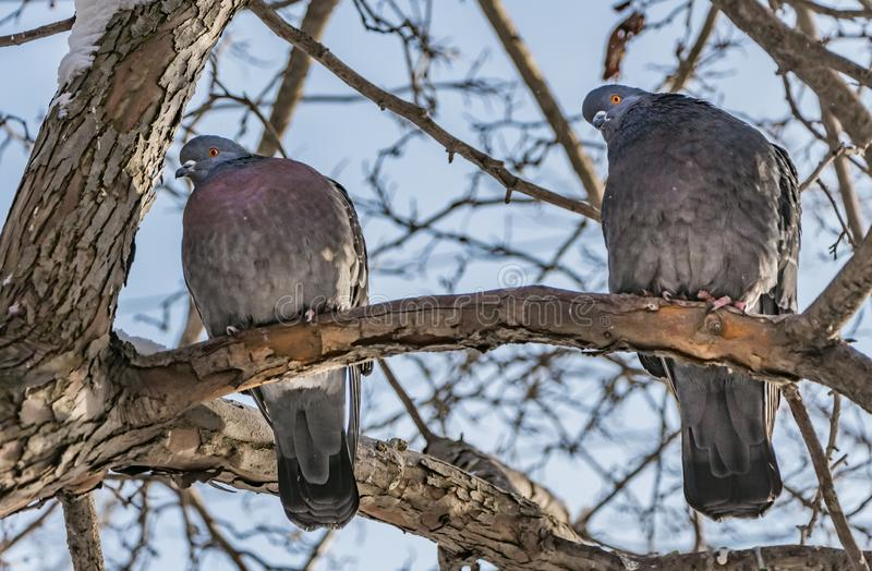 A group of two gray pigeons birds with orange eyes on the brown tree with white snow and without foliage against the stock photos