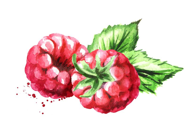 Group of two ripe raspberries with green leaves. Watercolor hand drawn illustration, isolated on white background royalty free illustration