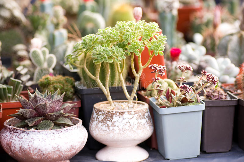 Group of various succulents. In pots royalty free stock images