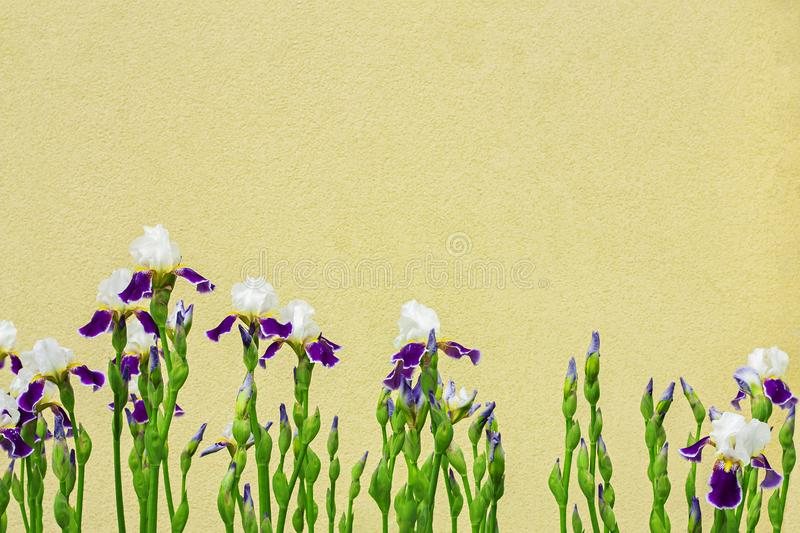 Group of violet irises with the yellow wall background with copy space. Spring blossom flowers stock photography