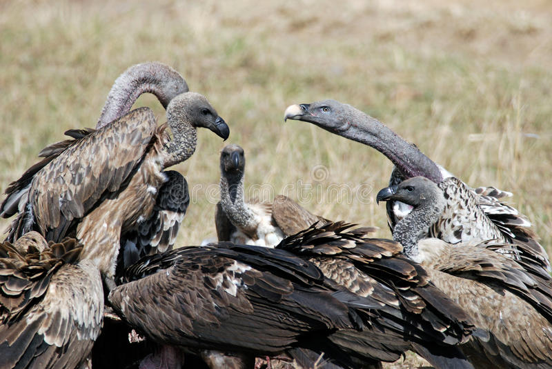 Group Vultures Eating ...