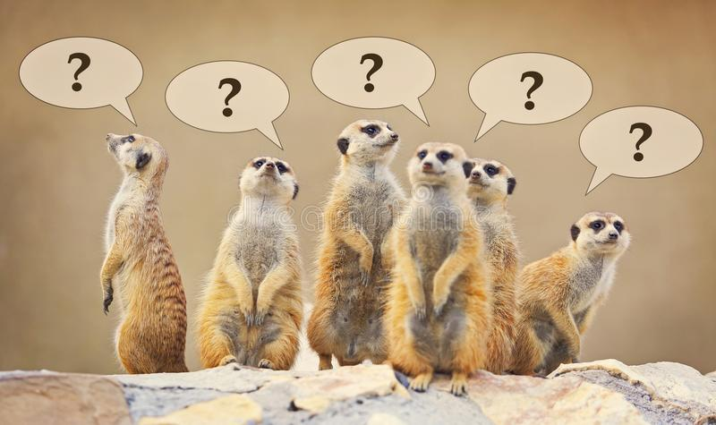 Group of watching surricatas with question marks. Outdoor stock image