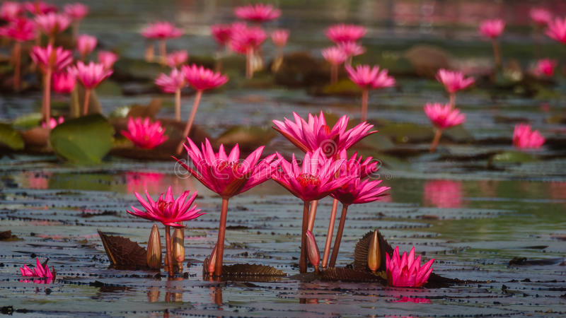Group of Water Lily growing up together stock image