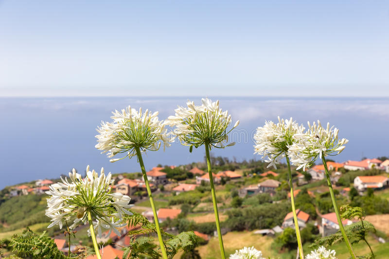 Group of white agapanthus near village and sea stock images
