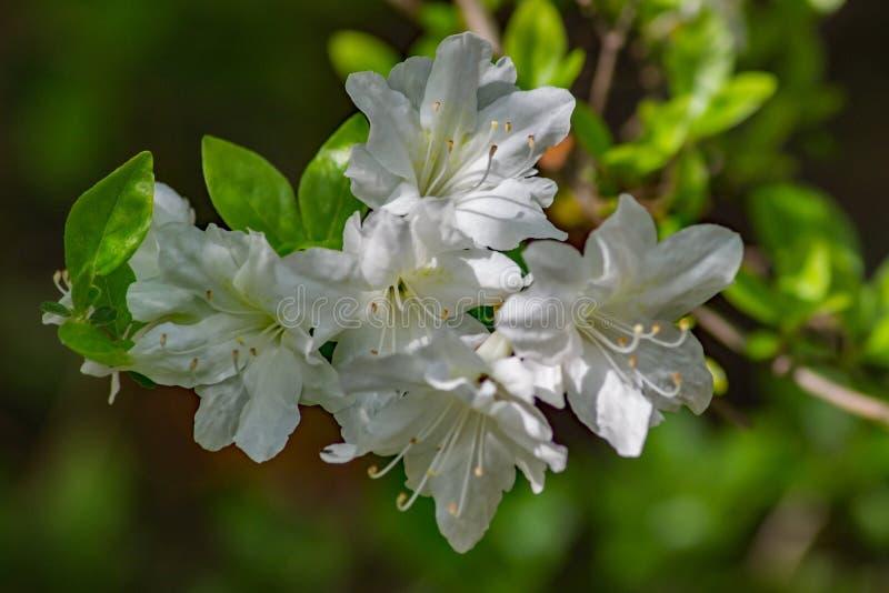 Group of White Azalea Flowers stock images