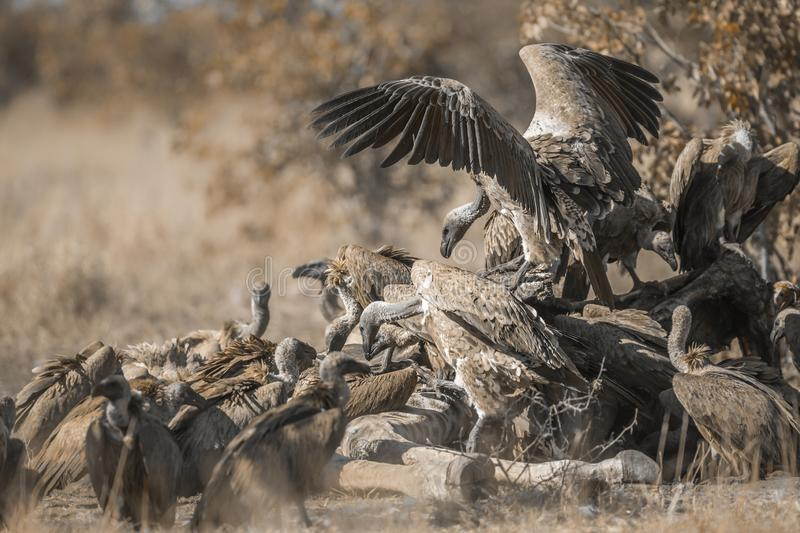 White backed Vulture in Kruger National park, South Africa. Group of White backed Vultures fighting on giraffe`s carcass in Kruger National park, South Africa stock photography