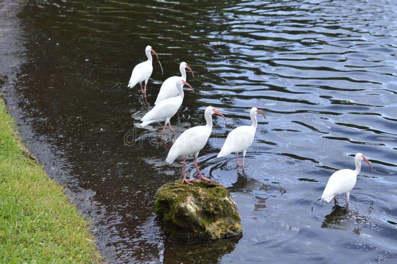 Group of white birds lakeside. stock photo