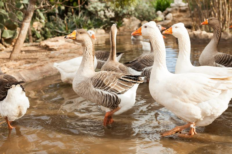 Domestic geese on pond. Group of white and brown domestic geese on pond in farm stock photo