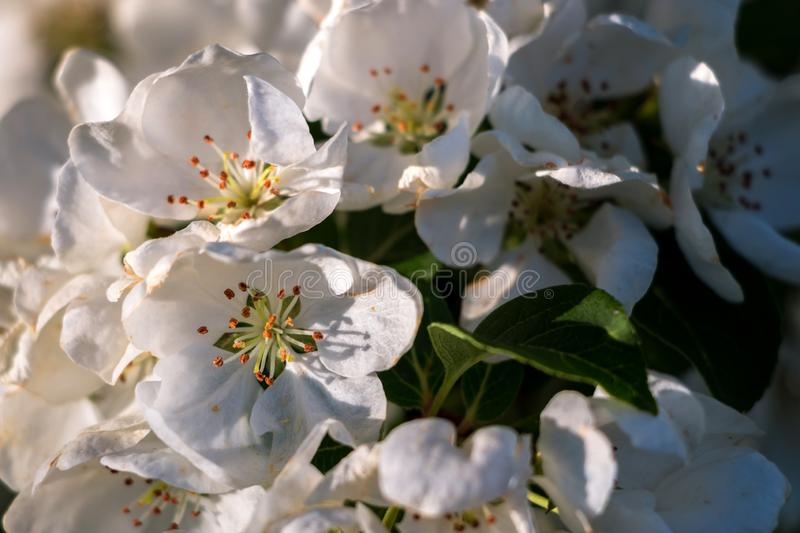 Macro Shot of White Cherry Blossoms in The Sunlight royalty free stock photos