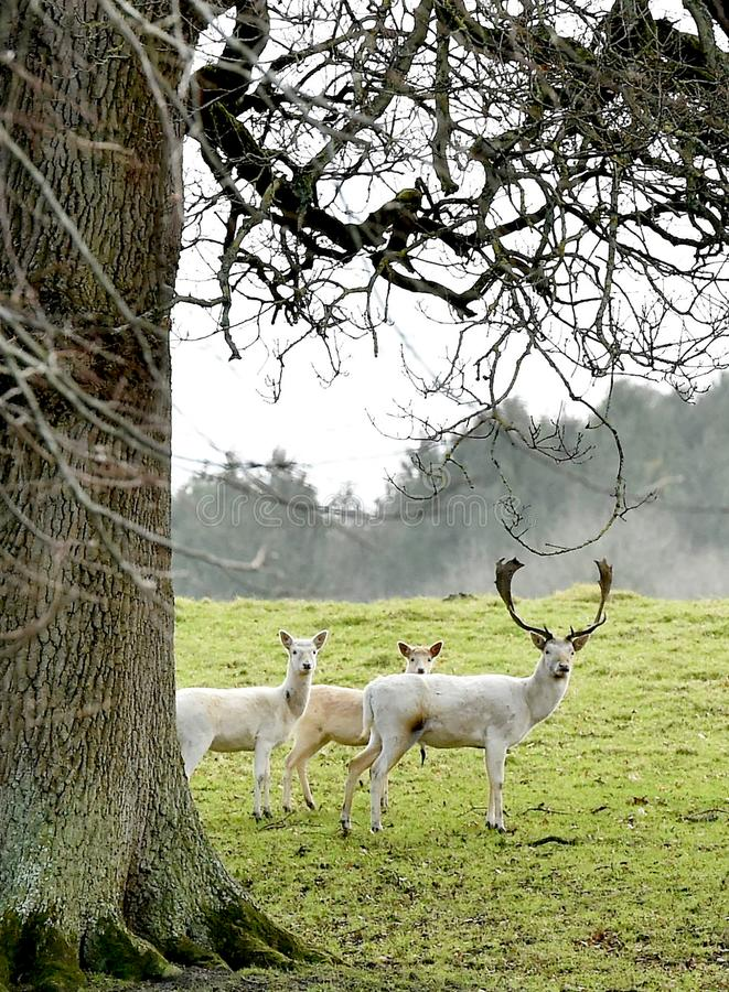 White Stag and deer under a tree stock images