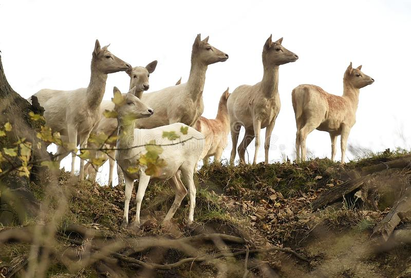 Group of White Deer stand alert royalty free stock photo