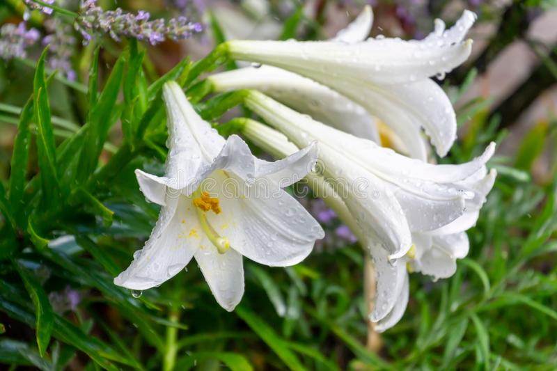 Group of white lily flowers covered with raindrops in the garden royalty free stock images