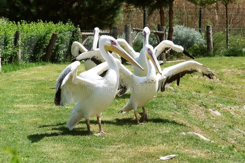 Group white pelicans with large wings on the lawn in the zoo royalty free stock images