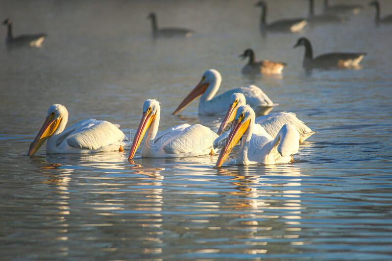Pelican Raft. A group of white pelicans raft together on a lake at the Sepulveda Wildlife Reserve in Los Angeles, California stock photo